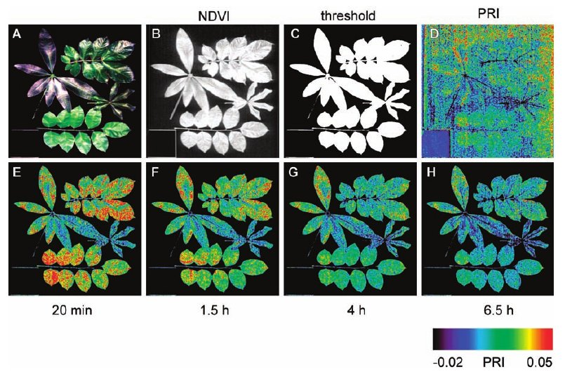 Above is an example of the picture processing and Photochemical Reflectance Index of four tropical leaves during the drying process as seen in the Rascher et al. (2007) study. (A) True-color-composite picture of the imaged leaves; (B) Normalized Difference Vegetation Index (NDVI), calculated for all pixels; (C) NDVI threshold image, (D) PRI, calculated for all pixels.(E through H): A time series of PRI during the drying process. The mask from (C) was used to show the leaf PRI values only.